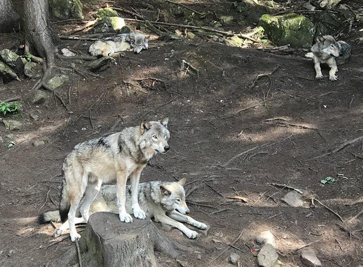notre nuit au parc omega avec les loups l 39 emm redeuse. Black Bedroom Furniture Sets. Home Design Ideas